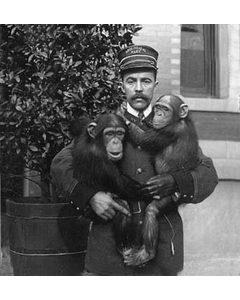 Chimpanser, Bronx Zoo, New York