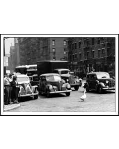 Duck Crossing Street In New York