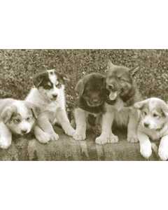 Vintage Photo Of Cute Puppies