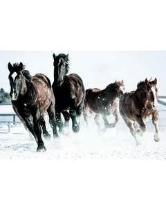 Hästar I Snö