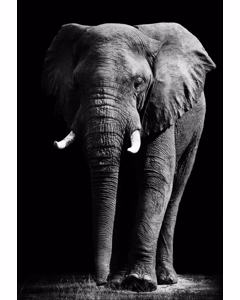 Elephant Walking On Trail