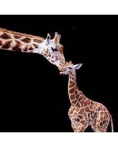 Giraff Med Unge